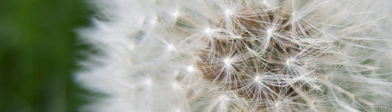 Dandelion Clock: Hypnotherapy Lanark